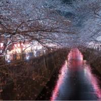 中目黒の桜は7分咲き