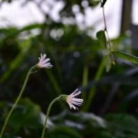 ガーベラ・ニベアの花