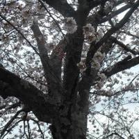 名取、大手町五丁目公園、桜開花🎶