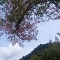 桜舞い落ちて・・・