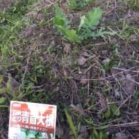 雑草に埋もれた大根と人参