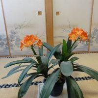 今年は、クンシランが2本咲きました。