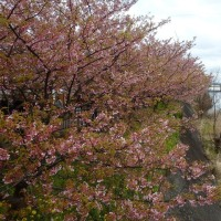 河津桜を愛でるロングライド2017