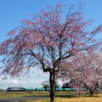 ヒガハスの桜2017(3)