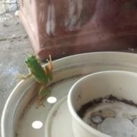 早朝ベランダで、困っている蛙さんを助けてあげたょ。