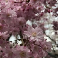 桜            鎌倉店