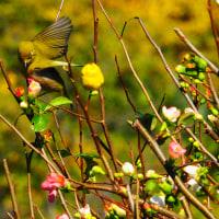 『季節の花』 木瓜