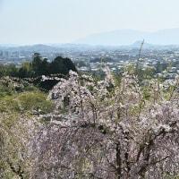 大神神社 桜