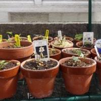 スミレの育て方3月 スミレの管理  花芽の付いたスミレの棚