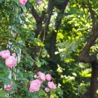 薔薇を摘んでアレンジメント