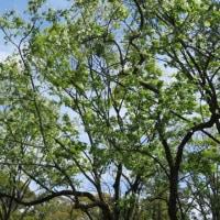 楽書き雑記「トキワマンサクとリキュウバイ=名古屋・鶴舞公園で初めて存在を知った2つの花木」