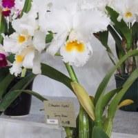 ◆C. Hawaiian Crystal'Spring Dream'