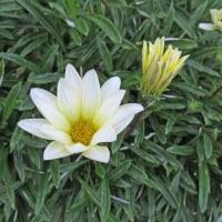 [#3447] 11月に撮った花のマクロ写真(2)ガーベラ