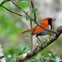 沖縄探鳥ツアー3日目 ヤンバルクイナ ホントウアカヒゲ