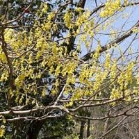今年の花見第4弾、信楽町畑の枝垂れ桜