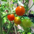 ベランダのミニトマトが実ってきました。