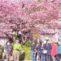 河津町で河津桜を見る