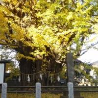 樹齢千年~イチョウの黄葉~