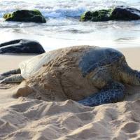 亀好き必見!高確率でウミガメに会える場所☆オアフ島ノースショア