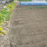 東の畑、菜花撤収
