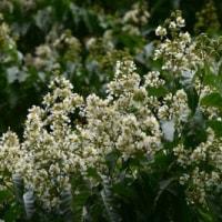 シマサルスベリの純白の花