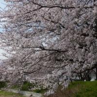 桜   満開
