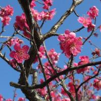 昨夜遅く帰京…今朝出迎えてくれたのは開花したサンシュユ