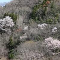 秩父の桜見事でした!