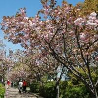 大中遺跡の八重桜~♪