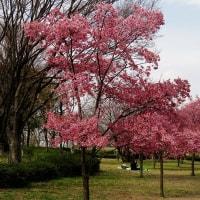 鶴見緑地公園で花見を先取り!・・・ウメ モモ サクラ