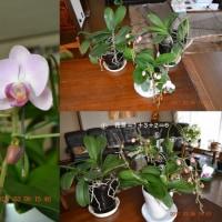 胡蝶蘭 今年は良く咲きそう