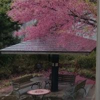 先週の病院の桜