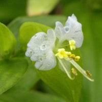 白いツユクサの花に近づい