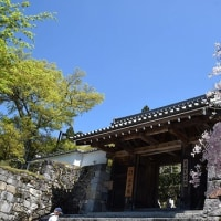 大原三千院 シャクナゲと桜