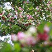 花だより・箱根空木(はこねうつぎ)