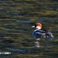 今日の野鳥・・・ミコアイサ 【その3】・・・雌もいました。。