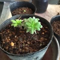 日本ムラサキの盆栽?
