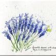 Franch Lavender