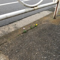 オサンポ walk - スキマ草 : 脱走パンジー pansies are running away