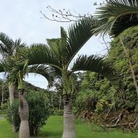 トックリヤシモドキ 徳利椰子擬き 実 花