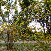 ミツマタの花、マンサク、ウグイスカズラ、シュンラン