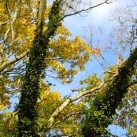 大きな木を這い上がっているキヅタ