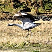 今日の野鳥  アネハヅル・ハクガン・ジョウビタキ