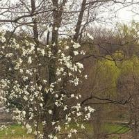 淡い春&入りびたりのヒヨドリ(^^♪