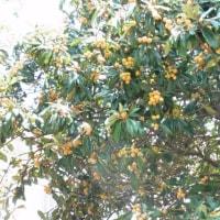 鳥は枇杷の木が好き