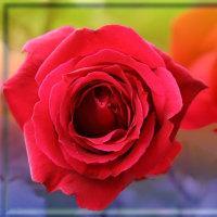公園の薔薇3