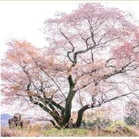 青々谷大桜