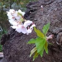 爛漫! ご近所の桜めぐり