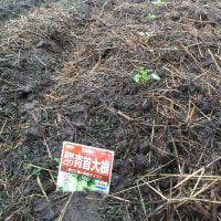 大根が芽を出す
