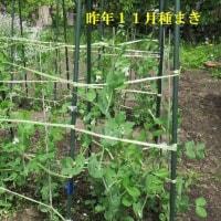 家庭菜園 1